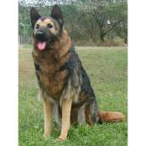 Gianna the German Sheperd by Hansa